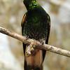 Buff-tailed coronet (25)