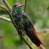 Rufous hummingbird (7)