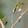 Booted racket-tail (16)