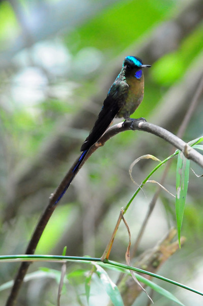 Violet-tailed sylph (8)