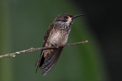 Speckled hummingbird (3)