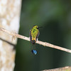 Booted racket-tail (14)