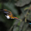 Booted racket-tail (7)