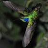 Green violet-ear (15)
