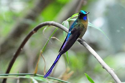 Violet-tailed sylph (7)