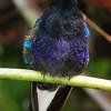 Velvet-purple coronet (4)