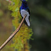 White-necked jacobin (6)
