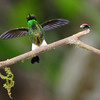 Booted racket-tail (2)