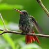 Rufous hummingbird (8)