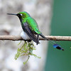 Booted racket-tail (10)