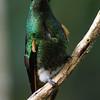 Buff-tailed coronet (21)