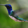 White-necked jacobin (8)