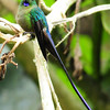 Violet-tailed sylph (4)