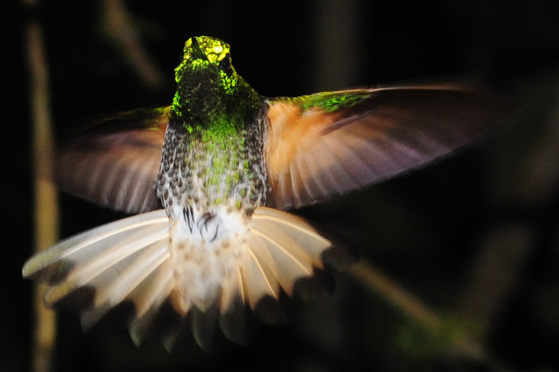 Buff-tailed coronet (20)