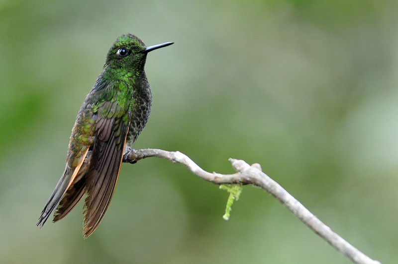 Green-crowned brilliant (3)