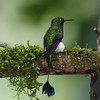Booted racket-tail (17)