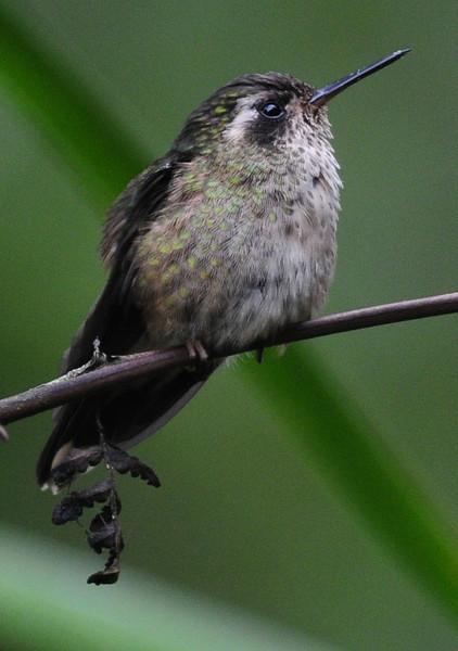 Speckled hummingbird (2)