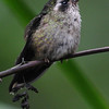 Speckled hummingbird (2)