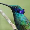 Sparkling violet-ear (6)