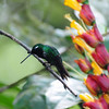 Green thorntail (1)