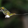 Booted racket-tail (1)