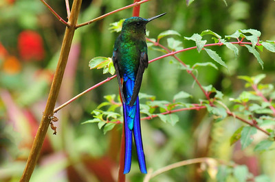 Violet-tailed sylph (3)