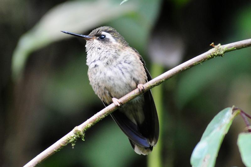 Speckled hummingbird (4)