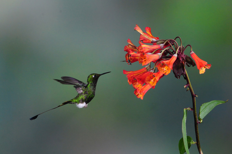 Booted racket-tail (13)