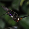 Purple-throated woodstar (1)