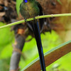 Violet-tailed sylph (1)