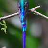 Violet-tailed sylph (5)