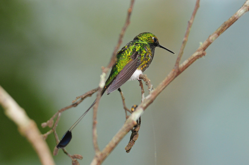 Booted racket-tail (15)