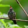 Rufous hummingbird (9)