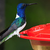 White-necked jacobin (7)