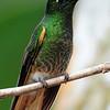 Buff-tailed coronet (23)