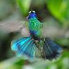 Sparkling violet-ear (3)