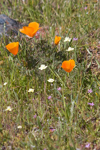 California poppies, cream cups, and various other flowers