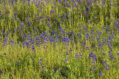 More Lupines.