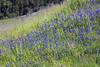 Lupines! Lupines! Lupines!