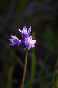 More Dichelostemma_pulchellum (blue dicks). These are a fairly distinctive flower; I don't know that there's anything else quite like them growing hereabouts. Native flower.