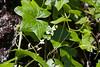 Marah oreganus  (Western Wild-cucumber, manroot, or coast manroot; notice how all the natives go under various identities?).