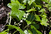 Marah oreganus  (Western Wild-cucumber, manroot, or coast manroot; notice how all the natives go under various identities?).