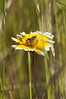 Pollinator on Layia platyglossa (tidytips). Natives.