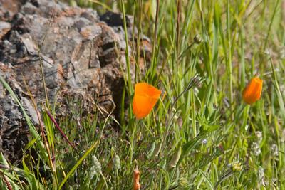California poppies and serpentinite (I'm pretty sure).