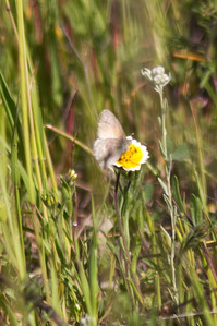 Sad that my butterfly shots were all completely fuzzy. This was the best of the bunch, perched on a Tidy Tip.