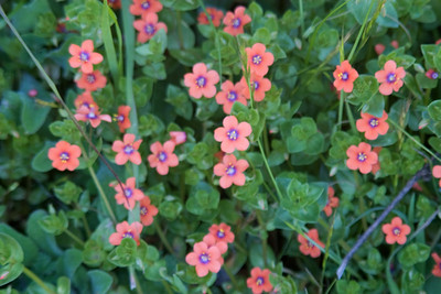 Scarlet pimpernel, a small nonnative that's also quite invasive. They grow everywhere, even in my yard. Another shot that would've been much nicer in focus. Sigh. You can see better shots of these and the butterflies and the birds... ok, and pretty much everything... at Steph's Flikr site.