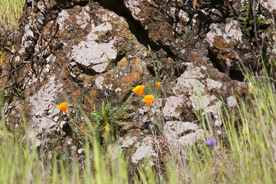 California poppies and a cool rock.