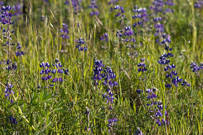 Lupines.
