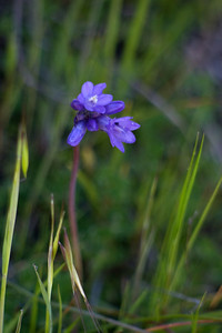Dichelostemma_pulchellum (blue dicks). How's that for a common name? Native flower.