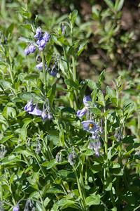 Solanum xanthi (purple nightshade/blue witch). Native.